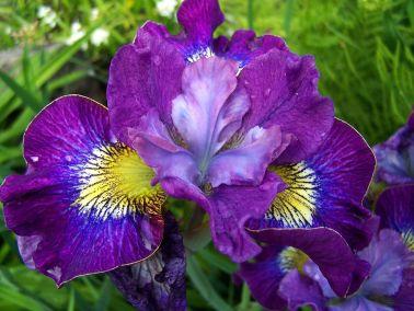 Iris 01