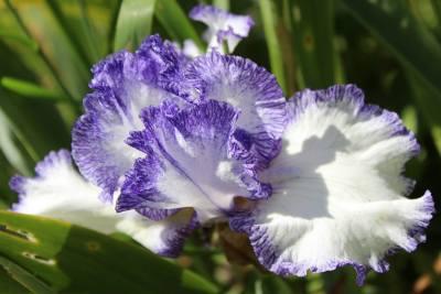 Iris-08
