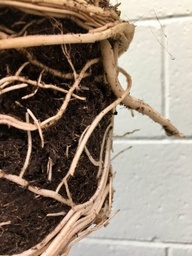 monstera roots coiled at top and bottom of soil clump.