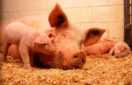 Los corazones de cerdos podrían implantarse en humanos dentro de tres años