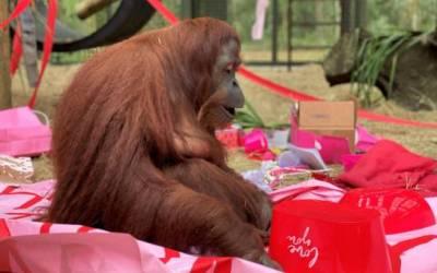 La orangutana argentina Sandra celebra su cumpleaños en EEUU