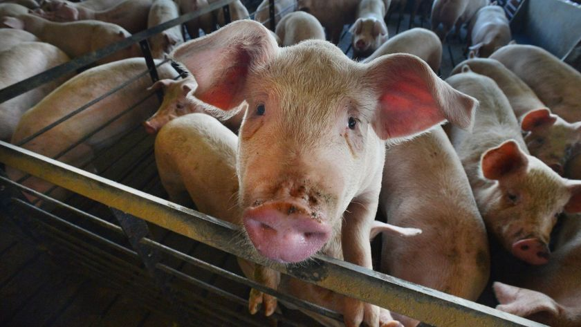 Opinion: From animal abuse to our plates – an outrageous method