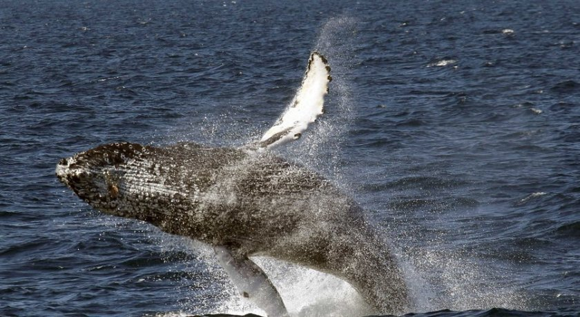 Opinion: The complexity of whale communication reveals the intricate culture of animals