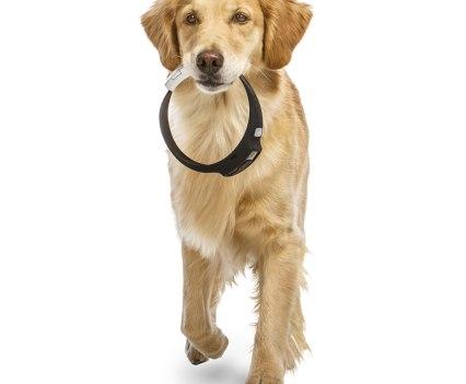 Cão Golden Retriever com Voyce, da i4C Innovations