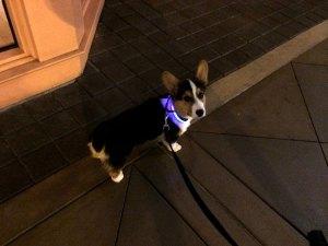Halo Mini, a coleira iluminada com LEDs