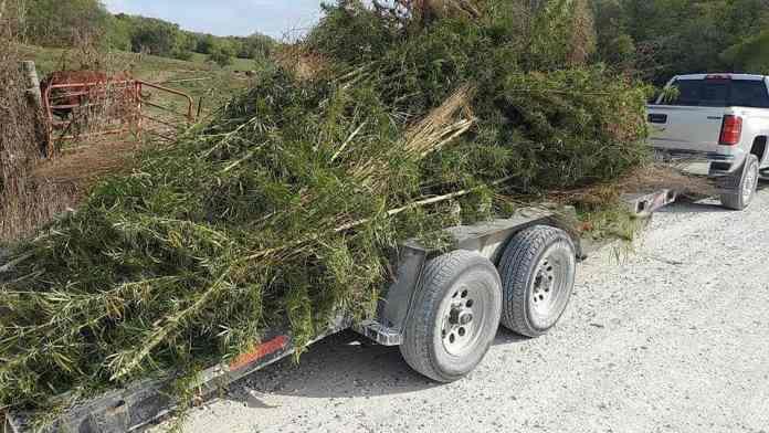 Nearly 500 Marijuana Plants Uprooted from Iowa Farm