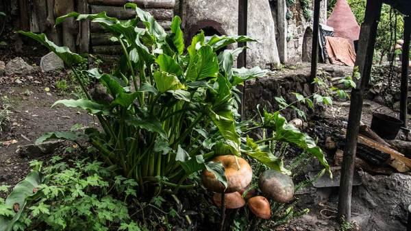 Magic Mushrooms In Oaxaca