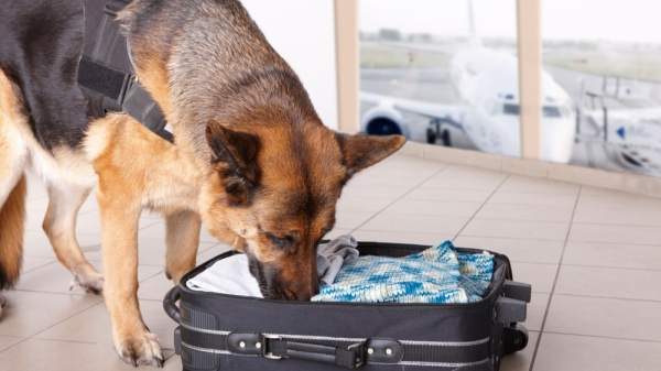 K9 Unit Discovers 21 lbs of Cannabis in Suitcases at Nashville Airport