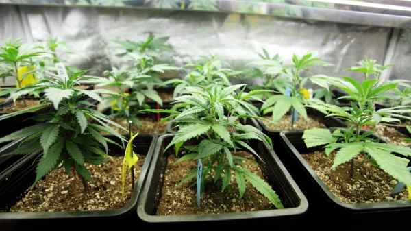 New Hampshire House Passes Bill to Allow Home-Grown Medical Cannabis