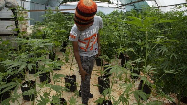 Black South African Farmers Struggle To Enter Burgeoning Cannabis Market