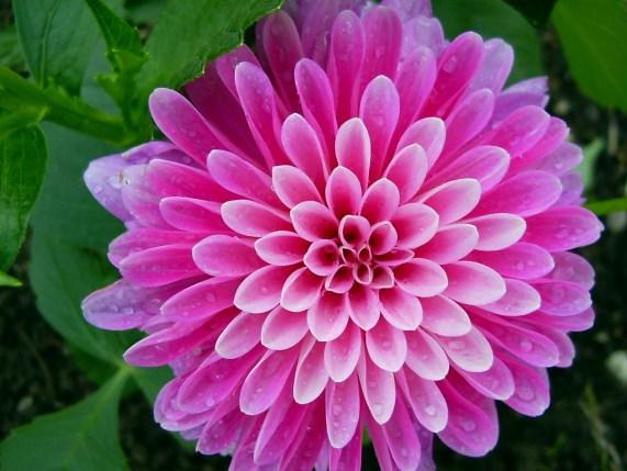 atpm-12-02-desktop-pictures-from-atpm-readers-flower-purple