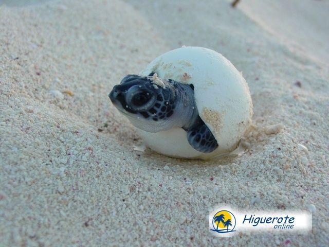 Programas de adopción de tortugas marinas en Venezuela