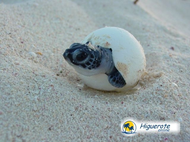 adopta_una_tortuga_higueroteonline