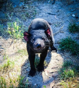 The Tasmanian Devil is an endangered species; Bicheno, East Coast