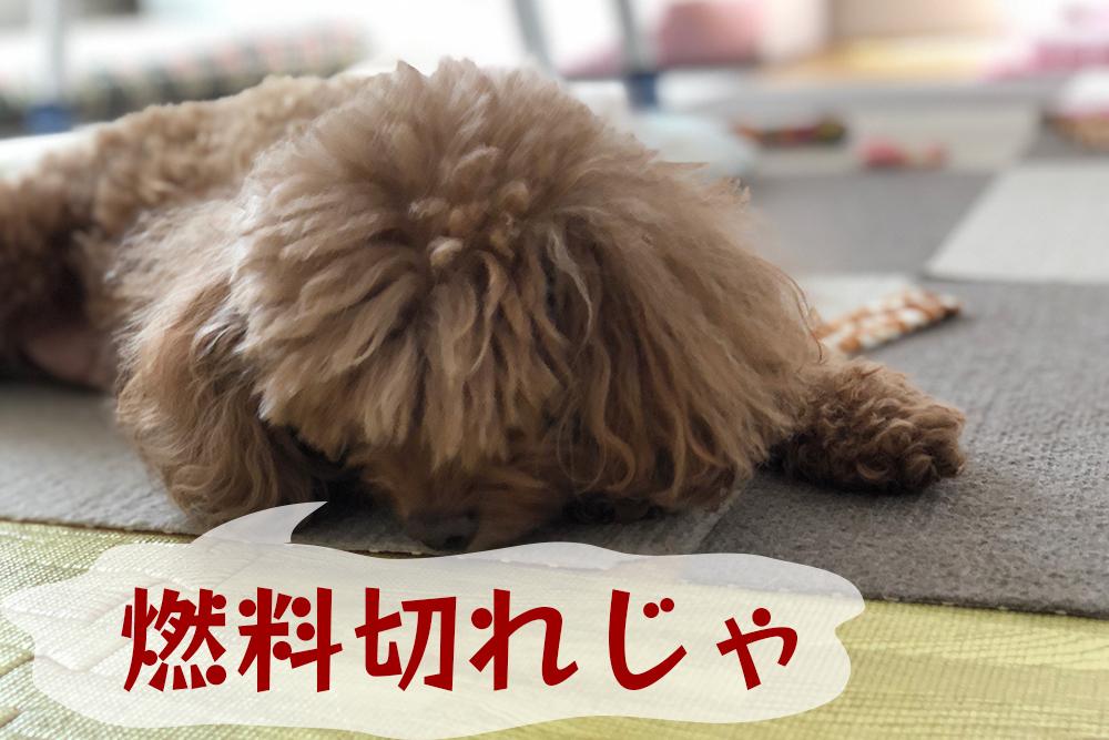 全盲のトイプードル・保護犬ひかり