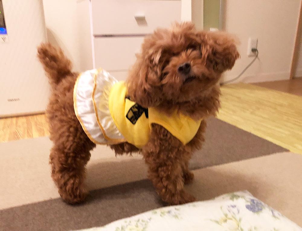 全盲のトイプードル・保護犬