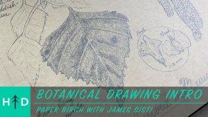 botanical drawing paper birch