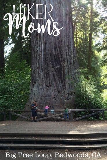 Big Tree Loop, Redwoods, California Image 4 Large Tree Root