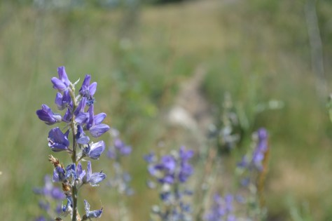 Payette Beardtongue