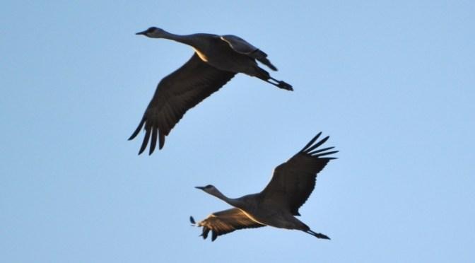 Nebraska's Crane Migration: A Wildlife Wonder of the World