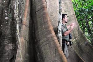 Amazon 300 year old ficus tree