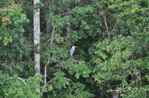 Amazon Heron