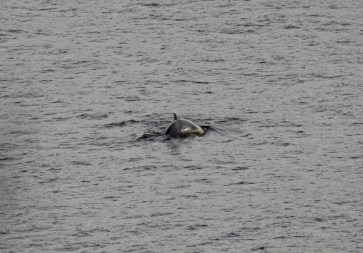 A small, agile whale off Mobile Point. A minke, perhaps?