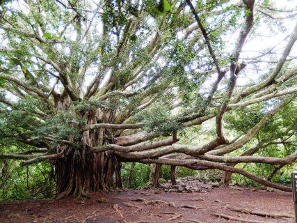 Alte Banyanbäume