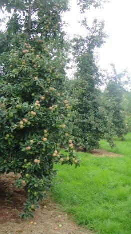 apples2015-09-03 00.04.53
