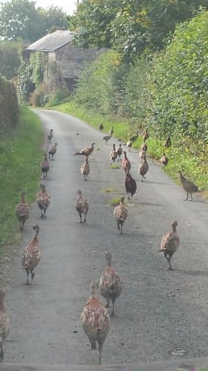 pheasants20150911_021620