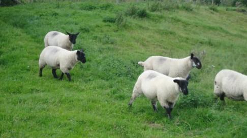 sheep2015-09-07 00.53.38