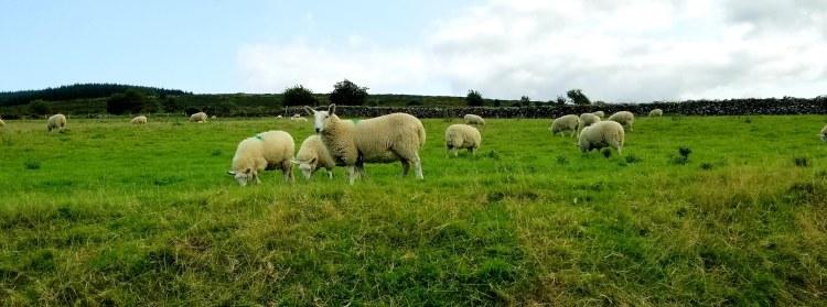 sheep20180829_174524
