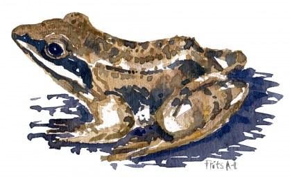agile frog watercolor sketch