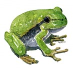 European tree frog watercolor