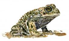 Natterjack toad watercolor