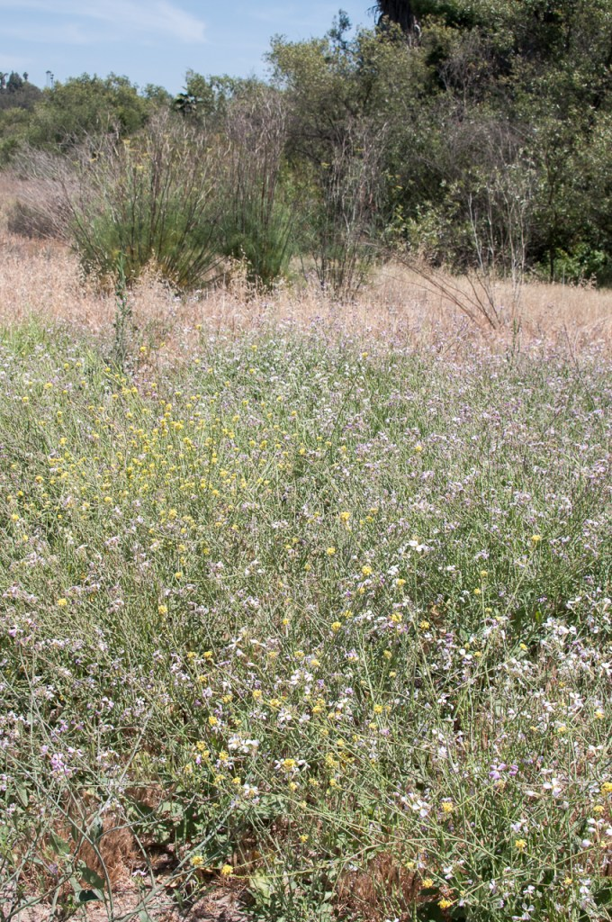 Wildflowers and grassland in Guajome Park