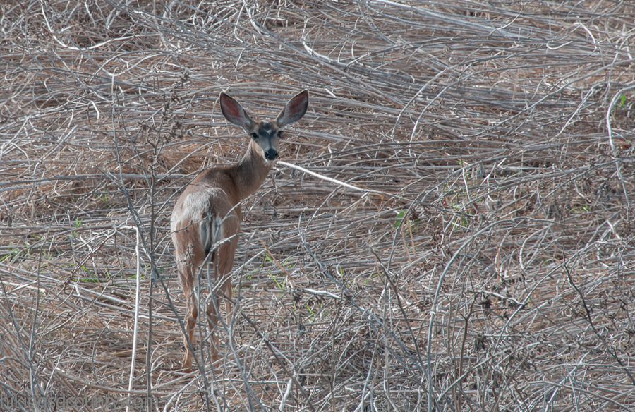 A deer carefully makes her way through the dry bed of Lake Hodges