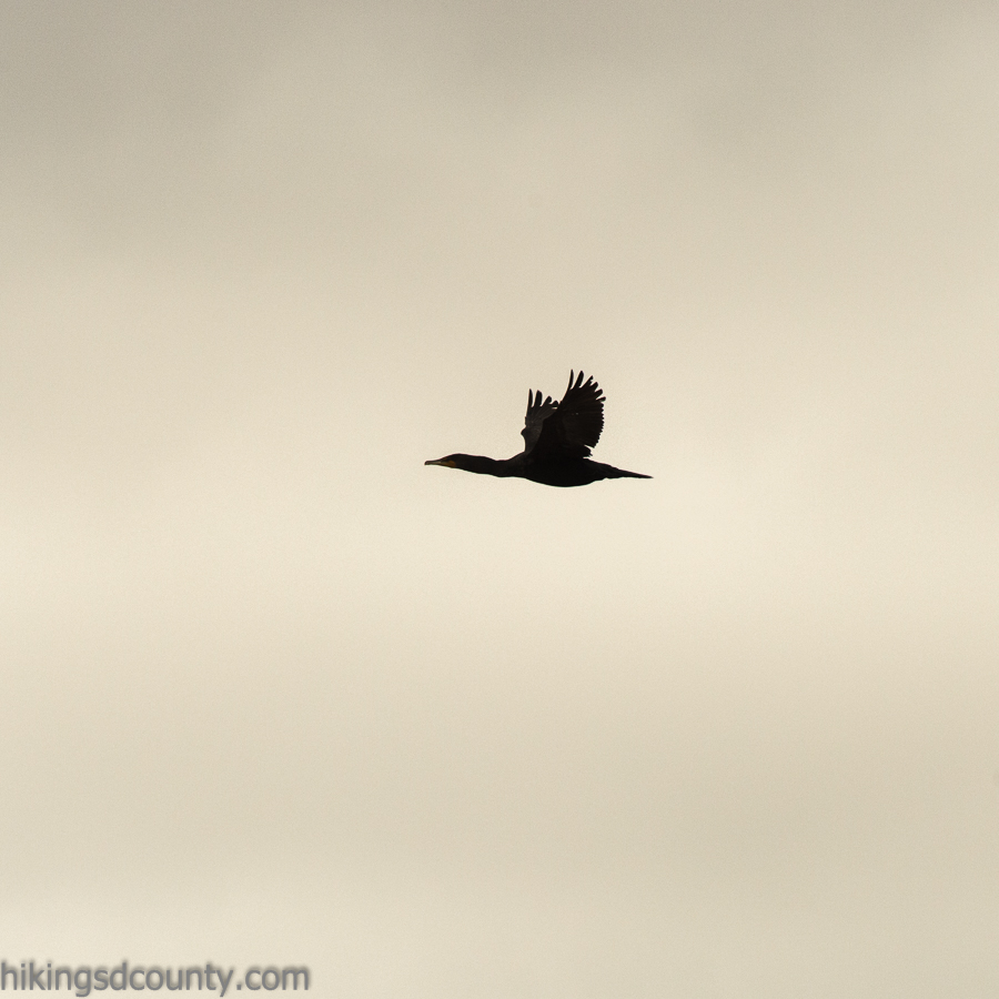A cormorant fliest over us at Border Field State Park