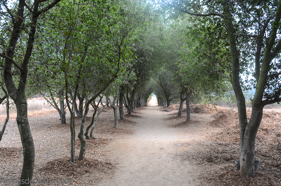 A picturesque tunnel of oak trees lines the beginning portion of the Iron Mountain Peak trail