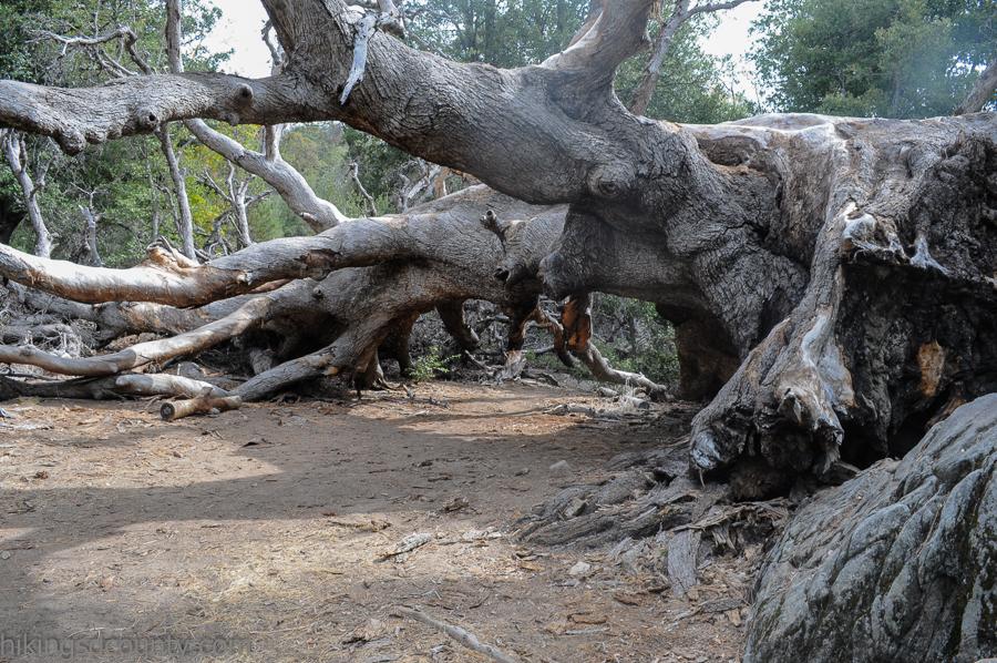 A massive fallen oak tree spanned the trail