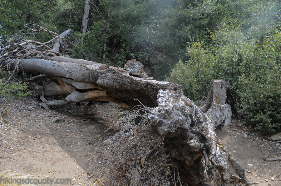 An fallen oak tree on the French Valley Trail