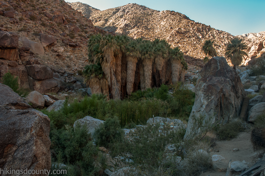 A desert oasis lies tucked away in the depths of Borrego Palm Canyon