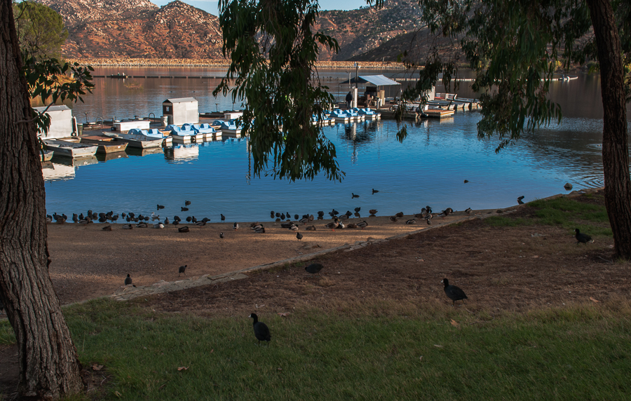 Ducks and Coots along the shore of Lake Poway