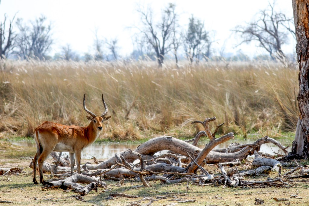 Red lechwe near the