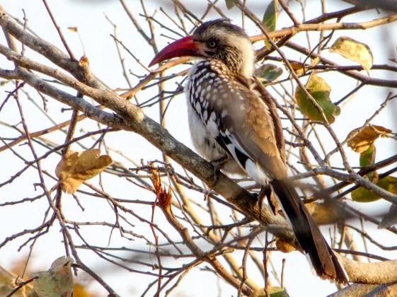 Red-billed hornbill, aka Flying Chilli Pepper