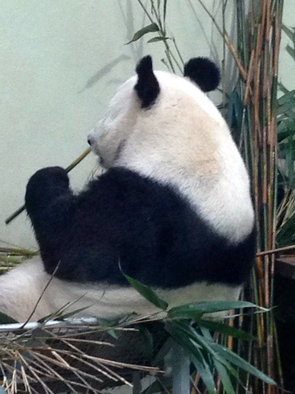 Edinburgh Zoo.. Why won't she turn around?!