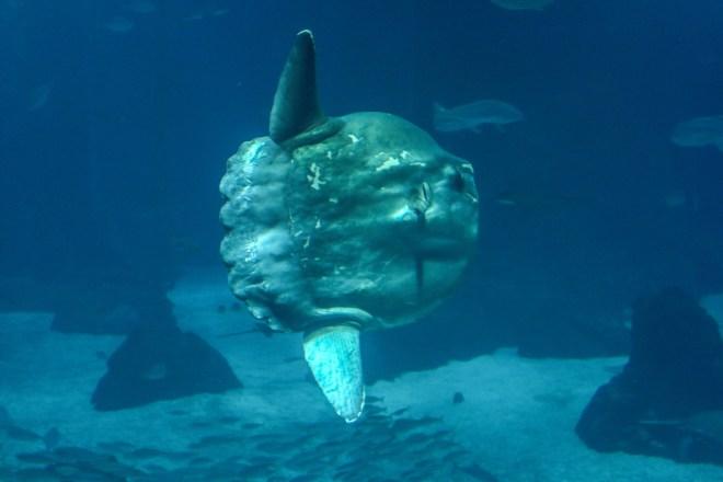 #oceansunfish