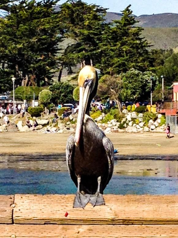 #pelican