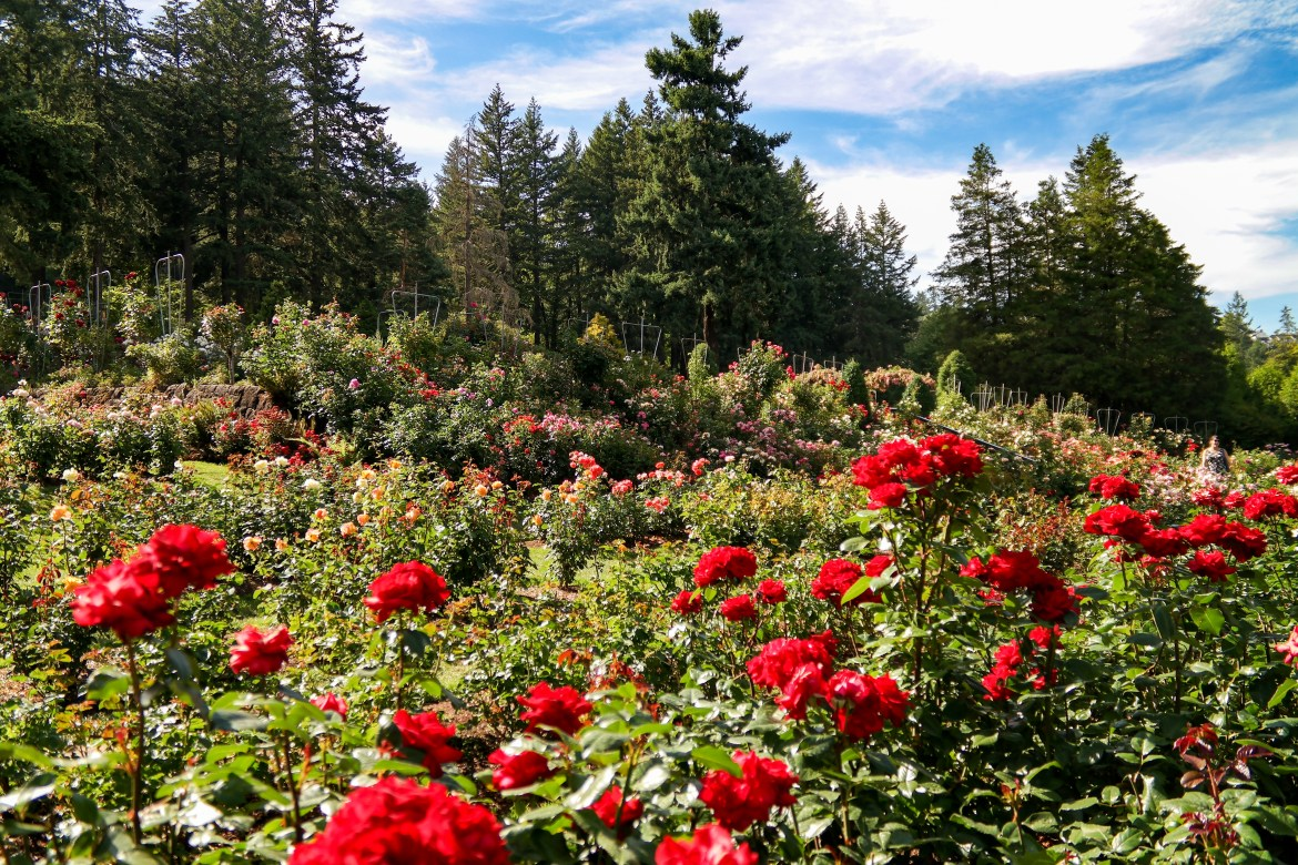 International Test Rose Garden Portland Oregon