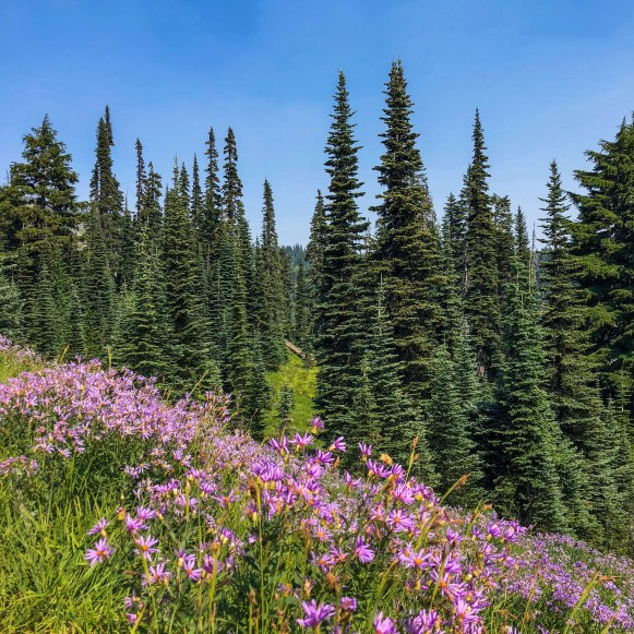 Paradise Wildflowers Mount Rainier Washington